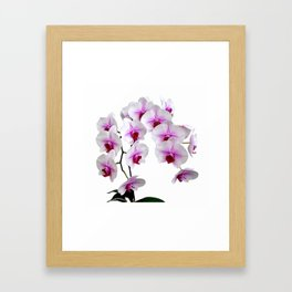 White and red Doritaenopsis orchid flowers Framed Art Print