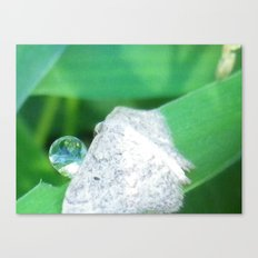 moth drinking a drop of water Canvas Print