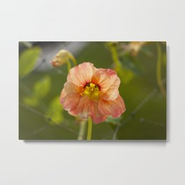 Orange Nasturtium Photography Print Metal Print