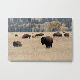 Grand Teton Bison Photography Print Metal Print