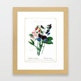 Lathyrus odoratus Framed Art Print