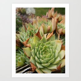 Hens and Chicks Plant Art Print