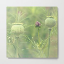 Poppy seed heads Metal Print