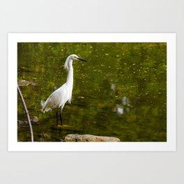 Majestic Egret  Art Print