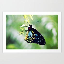 Cairns Birdswing Butterfly Art Print