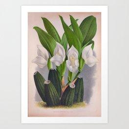 Vintage White Orchid Anguloa Uniflora Lindenia Orchid Art Print