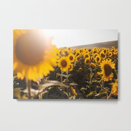 Sunflower's Season (III) Metal Print
