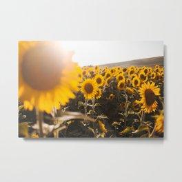 Sunflower's Season (III) Metal Print