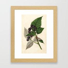 Vintage Painting of Blackberries Framed Art Print