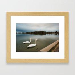 White swans swimming at Lake Palic, Serbia / Silhouette / Blue Framed Art Print