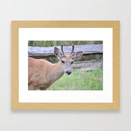 Columbian Black Tailed Deer, buck 5 Framed Art Print