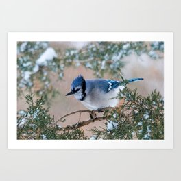 Hunkered Down (American Blue Jay) Art Print