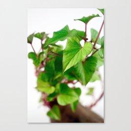 Sweet potato sprouts Canvas Print