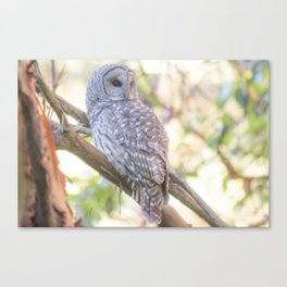 Barred owl in soft light Canvas Print