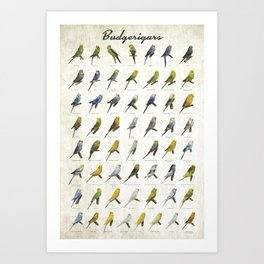Budgerigar Colors Poster Art Print