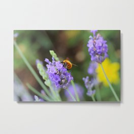 A bumblebee on lavender Metal Print