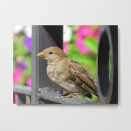 Sparrow Morning Metal Print