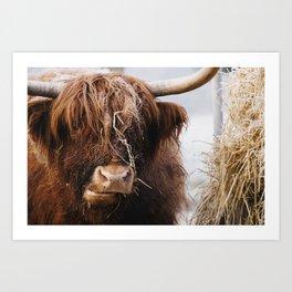 Highland cow feeding on straw on a frosty winters morning. Norfolk, UK. Art Print