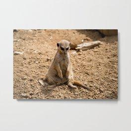 Sad Meerkat Metal Print