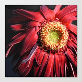 Wilting Red Daisy Canvas Print