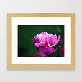 Fine Art Photography - Flowers - Botanical Art - Orange, Peach, Coral, Purple Rose Photograph Framed Art Print