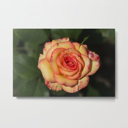 Royal Welcome Rose Metal Print