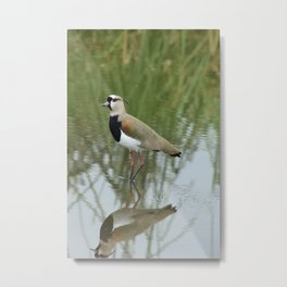 Southern Lapwing in Shallow Water Metal Print