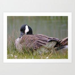 coy goose Art Print
