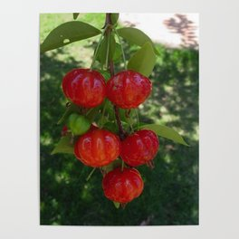 Fruta Pitangas Brasileiras !! Poster