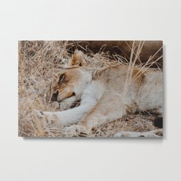 Sleeping Lioness Metal Print