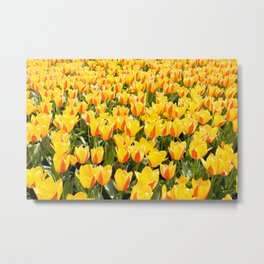 Plenty yellow and red Stresa tulips Metal Print