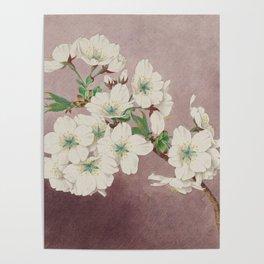 Shirayuki - White Snow Cherry Blossoms Poster