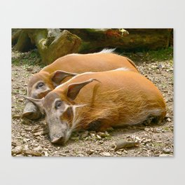 Red River Hogs taking a nap Canvas Print