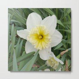 White and Yellow Daffodil Metal Print