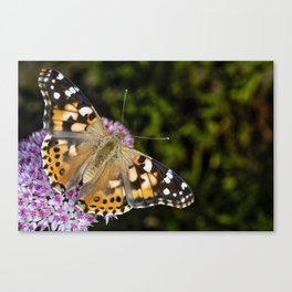 Painted Lady Butterfly 0923 Canvas Print