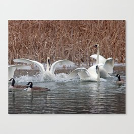 Trumpeter Swans squacking Canvas Print