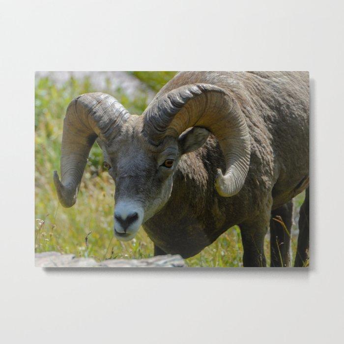Bighorn Sheep Close-up Metal Print