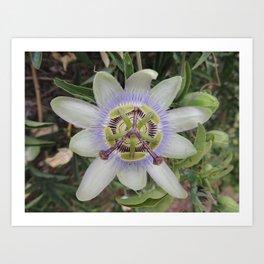 Passion Flower Blossom Art Print