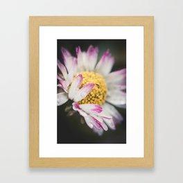 Raindrops on a daisy Framed Art Print