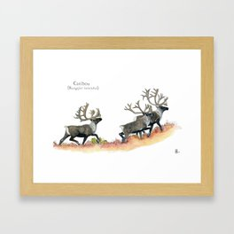 Barren-ground caribou in the tundra Framed Art Print