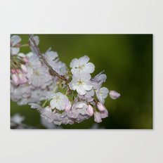 Saratoga Cherry Blossoms Canvas Print