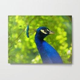 Peacock Face (Pfau) Metal Print