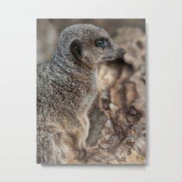 Slender Tailed Meerkat (Suricata Suricatta) Metal Print