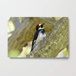 Acorn Woodpecker 1 by Reay of Light Metal Print