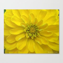 Bright Yellow Zinnia Flower Canvas Print