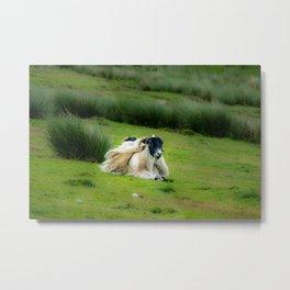 Wind sheared Sheep Metal Print