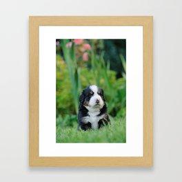 Bernese Mountain Dog puppy Framed Art Print