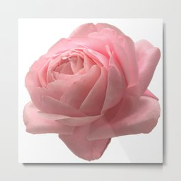 Pale Pink Rose Close-up Photo Metal Print