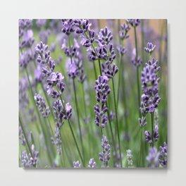Lavender Plant Metal Print