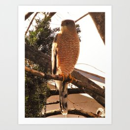 Al the Cooper's Hawk Art Print